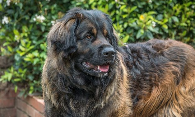 10 Largest Dog Breeds In The World