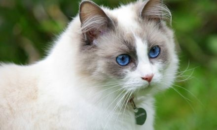 The Top 10 Largest Cat Breeds In The World