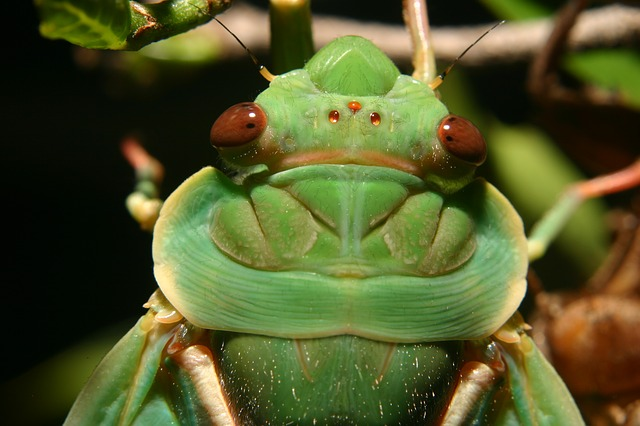 green-grocer-cicada