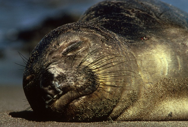 northern-elephant-seal